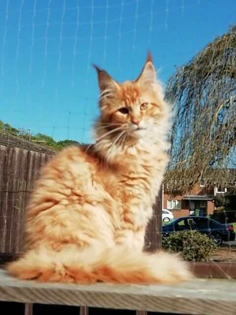Maine Coon Kitten | in Lurgan, County Armagh | Gumtree