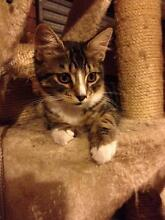 ** Scottish Fold Point kitten ** Westmeadows Hume Area Preview