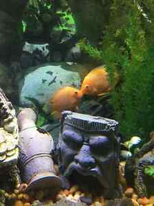 Red Spotted Severum Cichlid