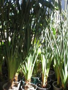 Potted cheap bird of paradise plants