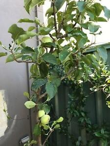 Dwarf Apple tree Red Fuji South Perth South Perth Area Preview