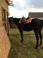 9 yr old thoroughbred mare