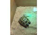 Male Horsfield Tortoise for sale