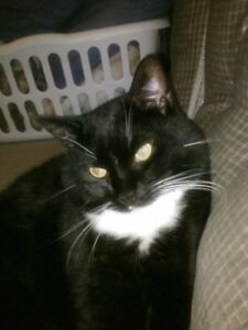 Tommy - Lost Black and White Tuxedo cat