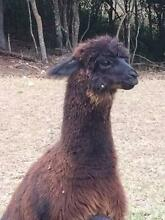 Alpaca - beautiful entire male showing guarding ability Brookfield Brisbane North West Preview