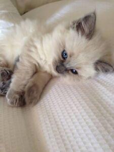 Looking for Ragdoll kitten / cat