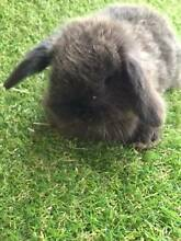 EXPRESSIONS OF INTEREST - PURE BRED MINI LOPS Cloverdale Belmont Area Preview