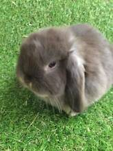 Chocolate Otter Pure Bred Mini Lop-SOLD PENDING PICK UP Cloverdale Belmont Area Preview