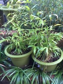 Last 1 Left! Black stemmed Bamboo all potted ready to be planted and grow quick. £40 each