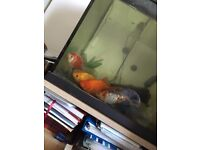Goldfish for sale to a good home