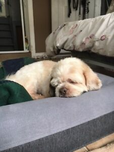 "Adult Male Dog - Shih Tzu: ""Mr Magoo"""
