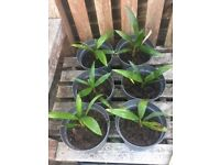 Young Trachycarpus Fortunei Palm Tree Plants. I just dont have the time for them. £10 each
