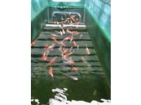 Pond Fish For Sale Koi Goldfish FREE Delivery within 15 miles minimum order of £30.00