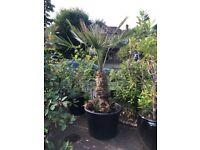 Price Reduced. Spectacular established Chamaerops Humilis Palm Plant