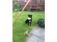 Border Collie X Bitch for sale 11 months old