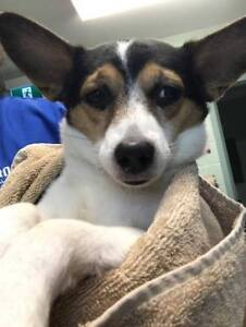 Adult Male  - Jack Russell Terrier (Parson)-Chihuahua
