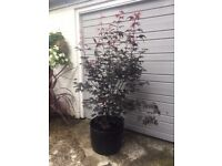 A simply Magnificent 8ft Japanese Maple Acer In a huge pot,