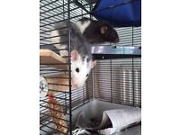 2 friendly female rats need a lovely new home!