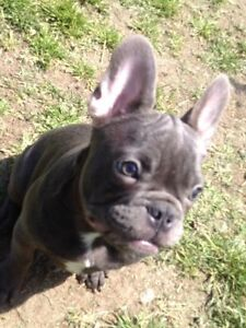 CKC REGISTERED BLUE FRENCH BULLDOG PUPPIES