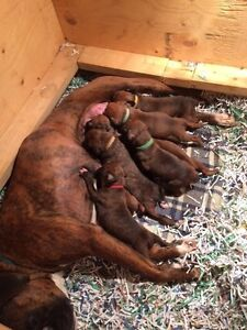 Champion sired 1/2 European Boxer puppies (updated may 1)