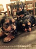 Teacup Yorkshire Terrier puppies-Ready Now!!