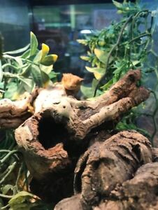 Male Dalmatioion Crested gecko