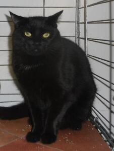 "Adult Female Cat - Domestic Short Hair: ""Erie 12 (PN unknown)"" London Ontario image 3"