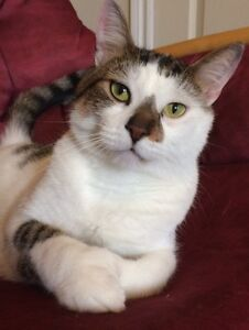 Polydactyl –EXTREMELY Friendly