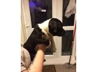 KC Staffordshire bullterriers for sale