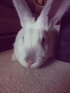 "Adult Female Rabbit - Californian: ""Rosie"""