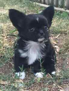 GORGEOUS CKC REGISTERED MALE LONG COAT CHIHUAHUA FOR SALE