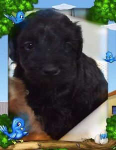 Yorkie/poodle.  Ready to go   Only 1 left