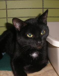 """Young Female Cat - Domestic Short Hair: """"Missy 16 (Brownsville)"""" London Ontario image 1"""
