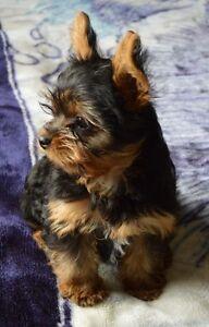 CKC Registered Yorkshire Terrier (yorkie)