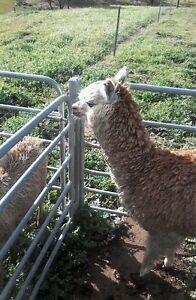 Alpaca male for sale Toodyay Toodyay Area Preview