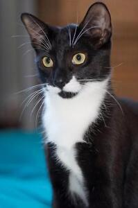Young Male  - Domestic Short Hair-black and white London Ontario image 3