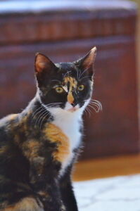 """Young Female Cat - Domestic Short Hair: """"Maple"""""""