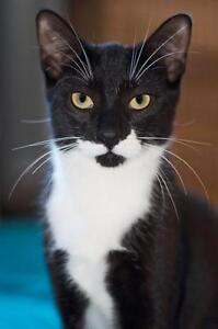 Young Male  - Domestic Short Hair-black and white London Ontario image 1