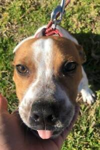 English Staffy Puppies - Male - Red and White Puppy Jamisontown Penrith Area Preview