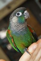 THREE BABY PEARLY CONURES READY TO GO NOW