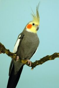 Looking For a Male cockatiel