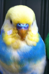 Looking for a budgie