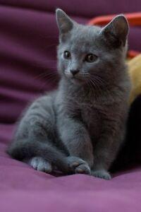 Daisy - Lost Female Kitten- Grey Shorthair
