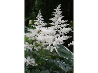 Astilbe (White)