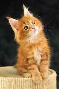 Looking for a long haired kitten