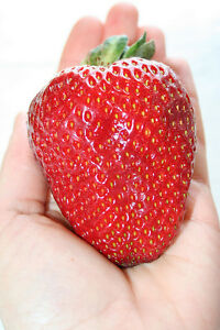 NEW-STRAWBERRY-GIANT-LARGEST-FRUIT-EVERBEARING-105-SEEDS