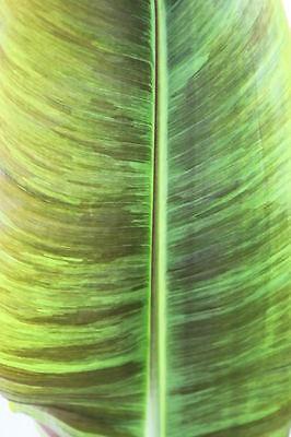 500 Seeds Wholesale - Musa griersonii - Himalayan Banana