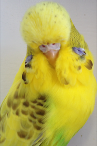 Budgies - Quality Club Rung Adult Hens PRICE REDUCTION Belmont Belmont Area Preview