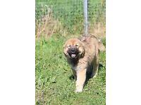 Super athletic Caucasian Shepherd Pups