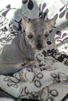 Tiny Teacup Chi Chi Hairless Puppy for Sale *SOLD*
